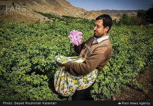 La cueillette des roses à Qamsar
